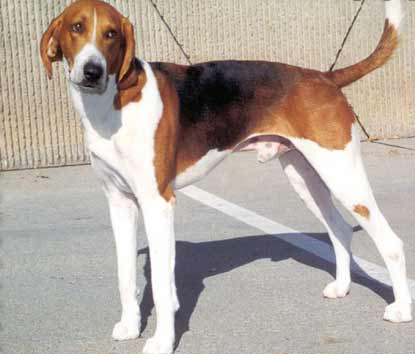 american foxhound on dog encyclopedia
