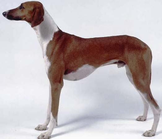 Azawakh dog featured in dog encyclopedia