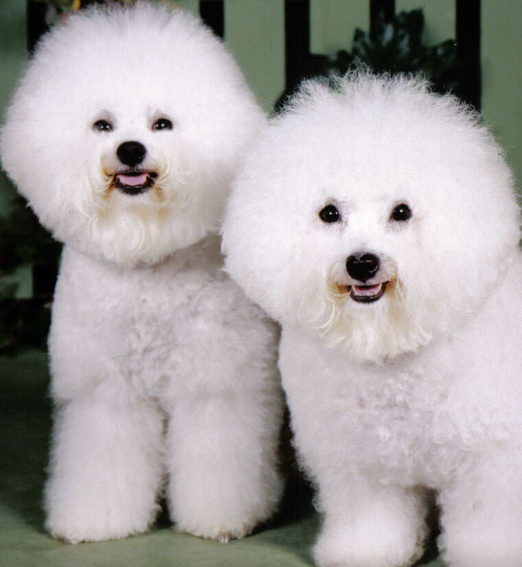 Bichon Frise profile on Dog Encyclopedia