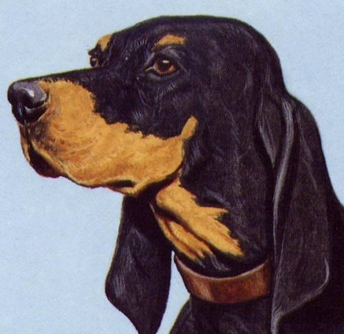 black and tan coonhound profile on dog encyclopedia