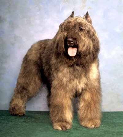 Bouvier Des Flandres dog profile on dog encyclopedia