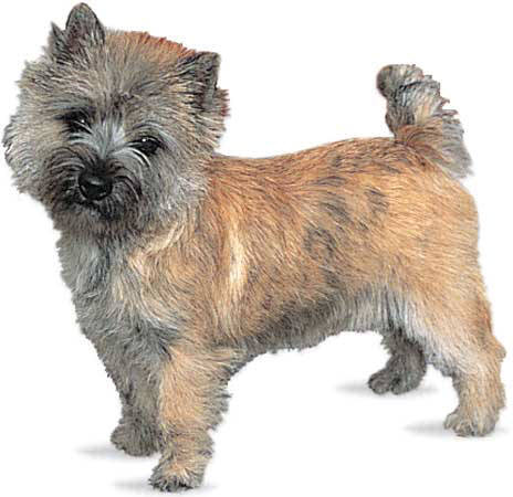 Cairn Terrier profile on dog encyclopedia