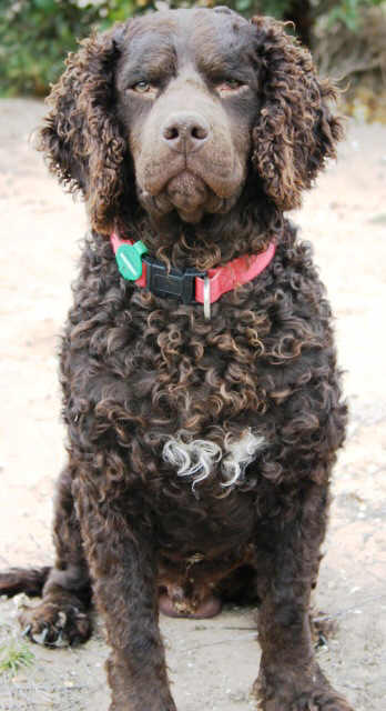 Curly Coated Retriever profile on dog encyclopedia