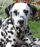 dalmations are often known as firehouse dogs