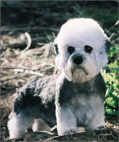 Dandie Dinmont Terrier English dog on dog encyclopedia
