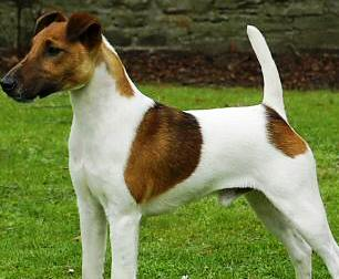 Smooth Fox Terrier dog featured in dog encyclopedia