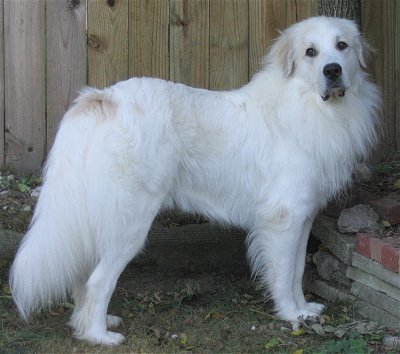 Great Pyrenees dog profile on dog encyclopedia