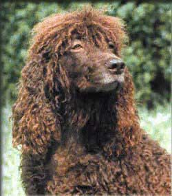Irish Water Spaniel profile on dog encyclopedia