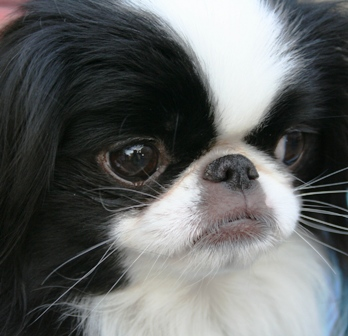 Japanese Chin dog featured in dog encyclopedia