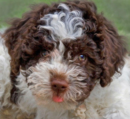 Lagotto Romagnolo profile on dog encyclopedia