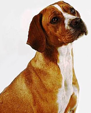 Portuguese Pointer profile at dog encyclopedia