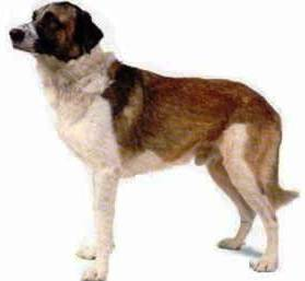 Rafeiro do Alentejo dog featured in dog encyclopedia