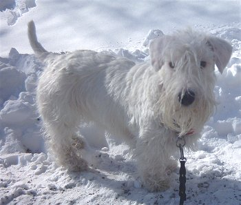 Sealyham Terrier dog featured in dog encyclopedia