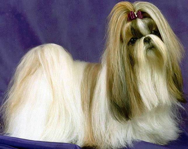 Shih Tzu dog featured in dog encyclopedia