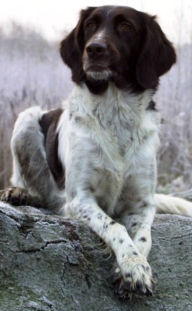 Small Munsterlander pointer profile on dog encyclopedia