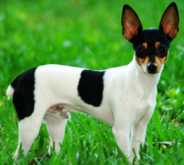 Toy Fox Terrier dog featured in dog encyclopedia
