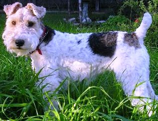 Wire Fox Terrier profile at dog encyclopedia
