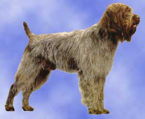 Wirehaired Pointing Griffon profile in dog encyclopedia