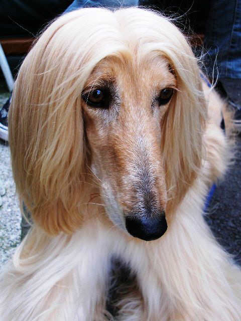 Afghan hound face close up