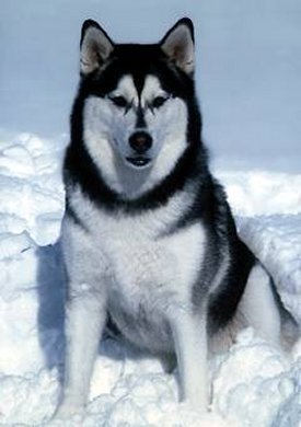 Alaskan malamute photo for dog encyclopedia