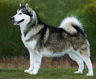 alaskan malamute at dog encyclopedia