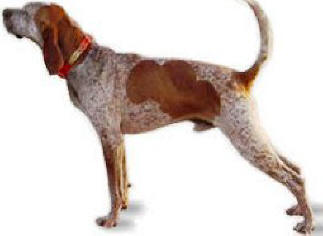 American English Coonhound profile on dog encyclopedia