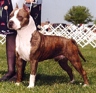 American Staffordshire terrier at Dog Encyclopedia
