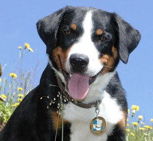 Appenzeller Sennenhunde profile on dog encyclopedia