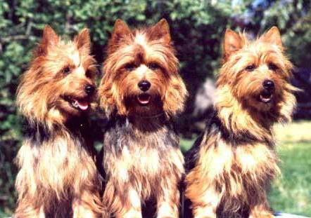 Australian Terriers all in a row on Dog Encyclopedia
