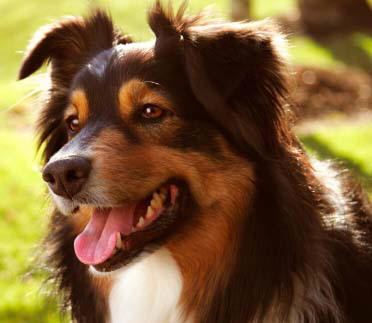 Australian Shepard dog on dog encyclopedia