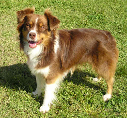 Australian Shepard profile on Dog Encyclopedia