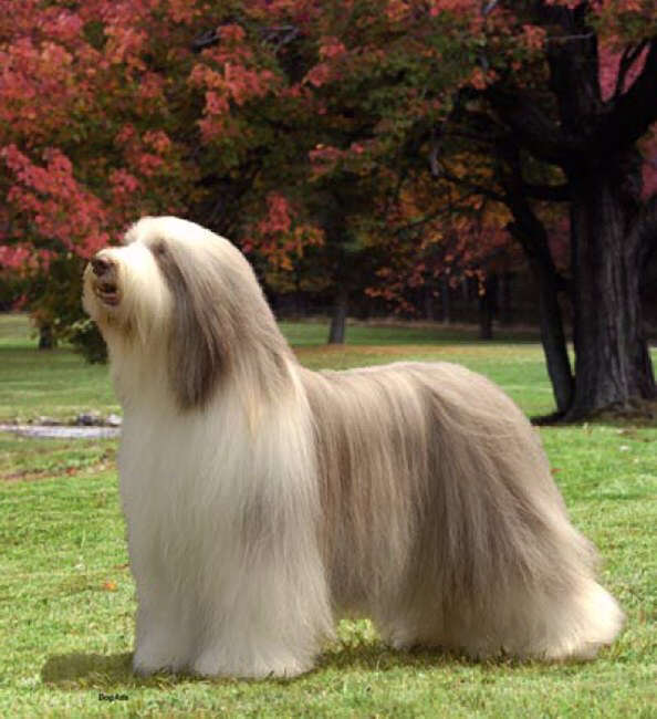 bearded collie on dog encyclopedia