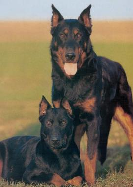 Beauceron profile on dog encyclopedia