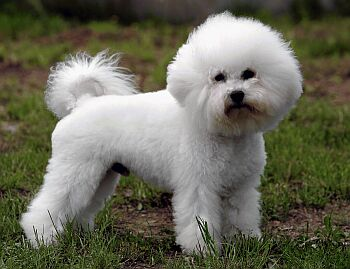 Bichon Frise in Dog encyclopedia
