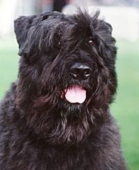 Bouvier Des Flandres on dog encyclopedia