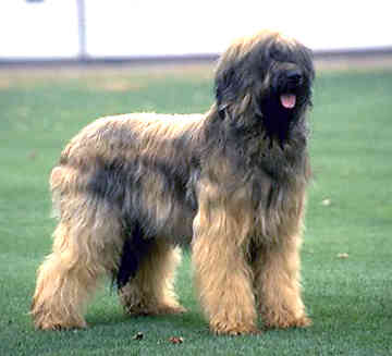 Briard dog on dog encyclopedia