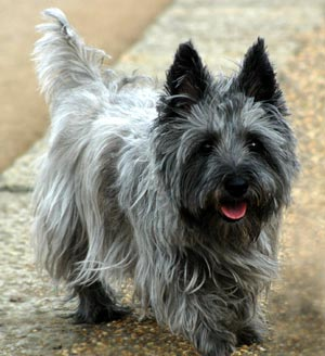 Cairn Terrier on dog encyclopedia