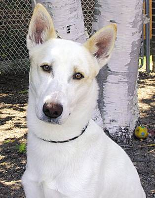 Canaan Dog profile on dog encyclopedia