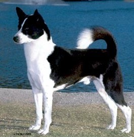 Canaan Dog on dog encyclopedia