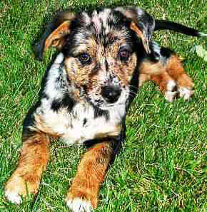 Catahoula Leopard dog featured in dog encyclopedia