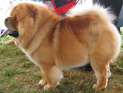Chow Chow dog on dog encyclopedia