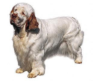 Clumber Spaniel profile on dog encyclopedia