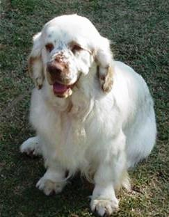 Clumber Spaniel dog on dog encyclopedia