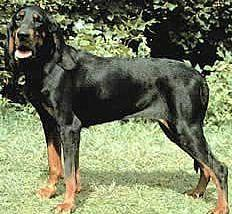 black and tan coonhound is a great hunting dog