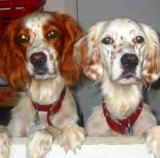 two english setters are twice the fun