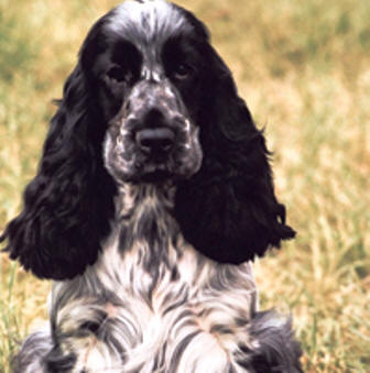 English Cocker Spaniel profile on dog encyclopedia