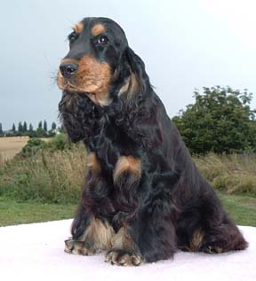 English Cocker Spaniel dog featured in dog encyclopedia