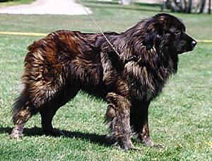 Estrela Mountain Dog featured in dog encyclopedia
