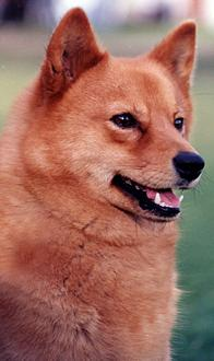 Finnish Spitz profile on dog encyclopedia