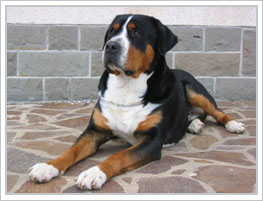 Greater Swiss Mountain Dog featured on dog encyclopedia